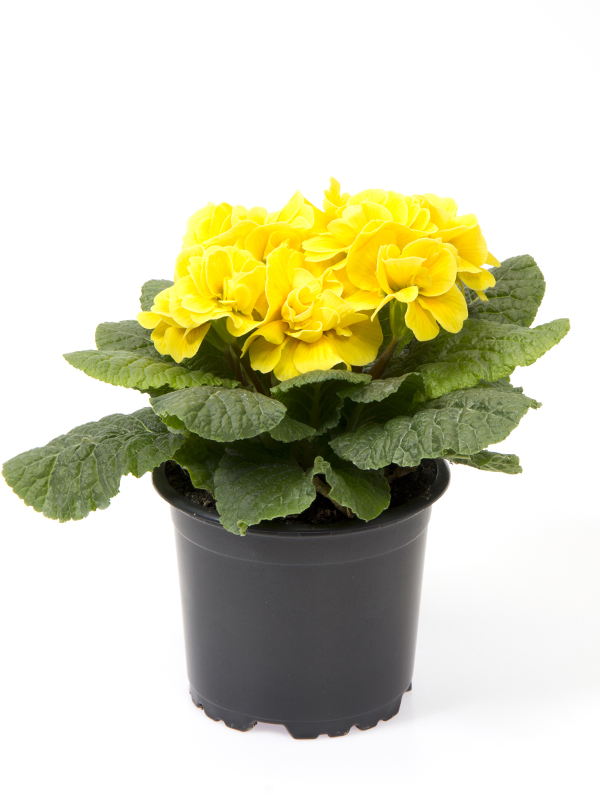 Primula 'Princess'