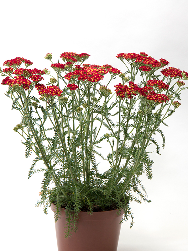 Achillea mill Red