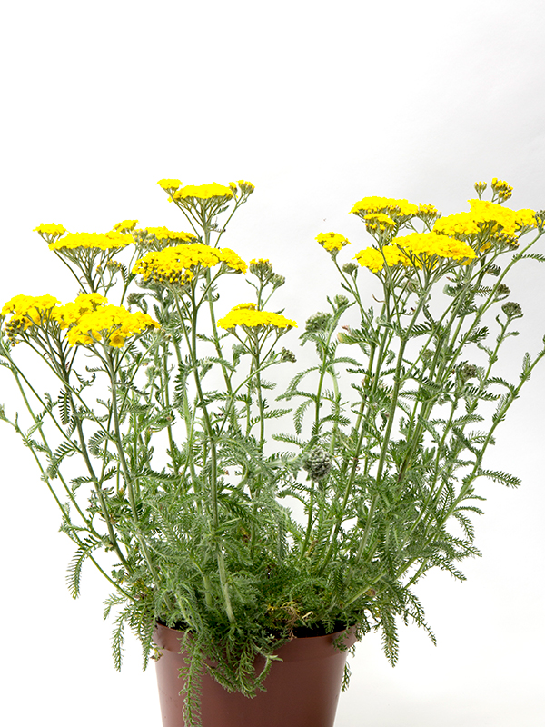 Achillea mill Yellow