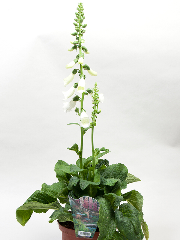 Digitalis White