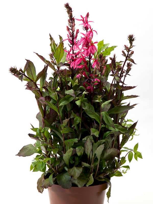 Lobelia Fan Salmon Rose