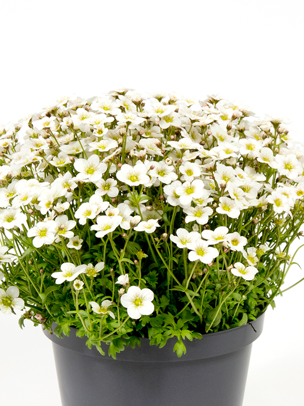 Saxifraga White Large