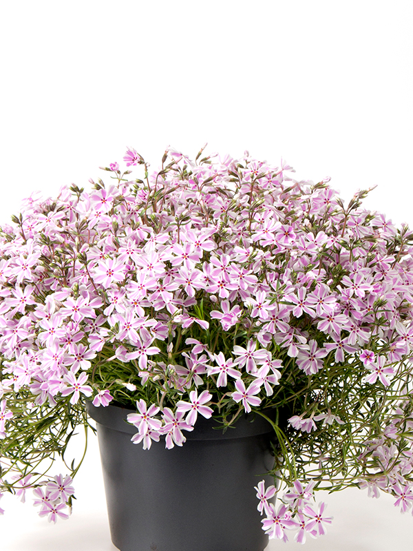 Phlox Candy Stribes